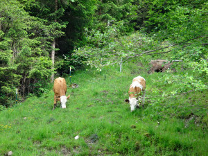 Cows grazing below our gondola ride. Oberammergau, Germany