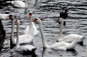 The swans were as domesticated as ducks, swimming right up to tourists for hand-outs